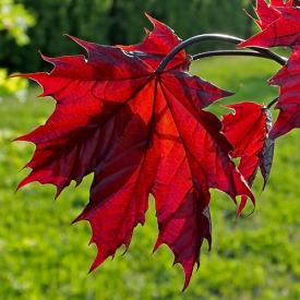 Blad Rode Zuil Acer