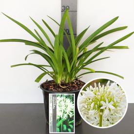 Agapanthus bloem