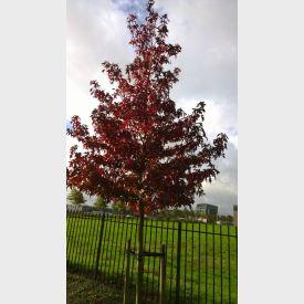 Amberboom herfstverkleuring