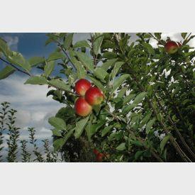 Appels Ecolette