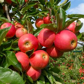 Appelboom Elstar Zware Hoogstam