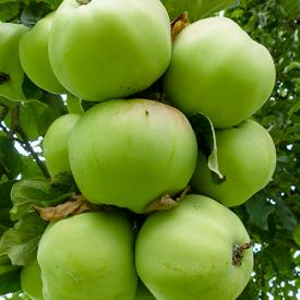 Vrucht Appelboom Ontario
