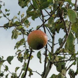 Vrucht Appelboom Pinova