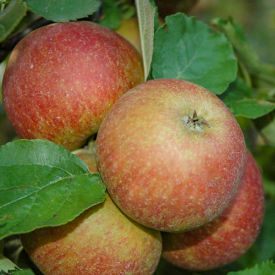Vrucht Appelboom Rode Boskoop