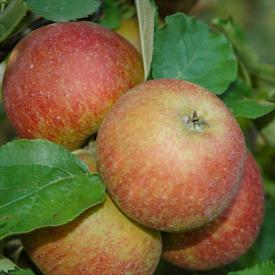 Appelboom Jonagold zware hoogstam