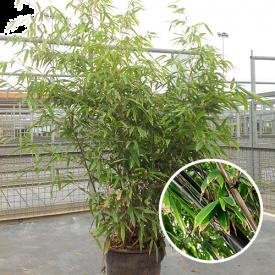 Bamboe Nigra