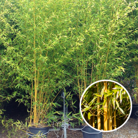 Bamboe Spectabilis 12 liter 100-150
