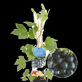 Blauwe Druif Boskoop Glorie Plant C2