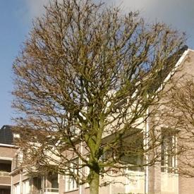 Esdoorn blokboom
