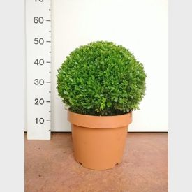 Buxus microphylla Faulkner bol 25-30 cm