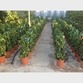 Kamer Sinaasappelboom 'Mitis'