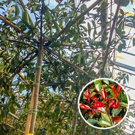 Dak photinia Red Robin