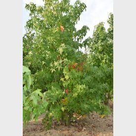 Meerstammige Amberboom met herfstverkleuring