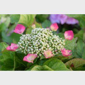 Hortensia Dark Pink