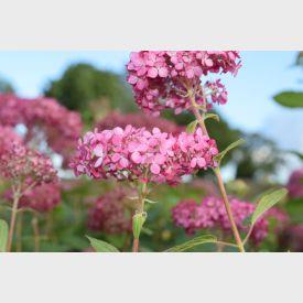 Hortensia Pink Annabelle