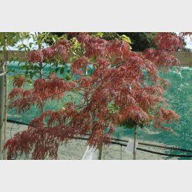 Japanse Esdoorn Garnet
