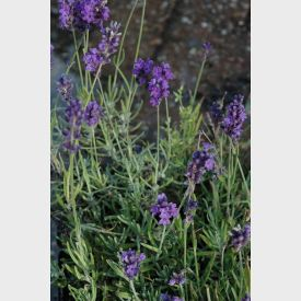 Bloem Lavendel Hidcote