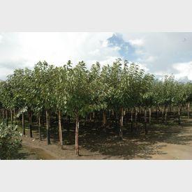 Abrikozenboom Hoogstam