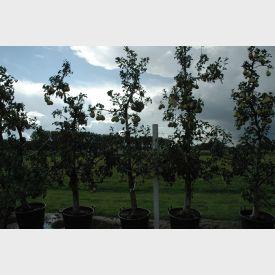 Oude perenboom 'Gieser Wildeman'