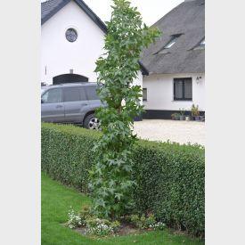 Zuilvormige Amberboom