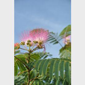 Albizia julibrissin bloem
