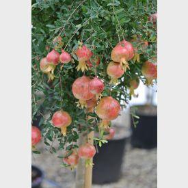 Vrucht van de granaatappel