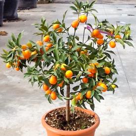 """Vrucht  Citrus fortunella """"Japonica"""" (kumkuat)"""