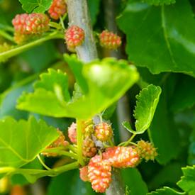 Vrucht Dwergmoerbei