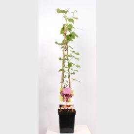 Tafeldruif Regent Plant