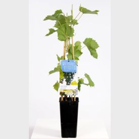 Plant Muscaat Blue