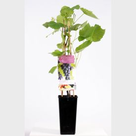 Druif Heike Pitloos Plant