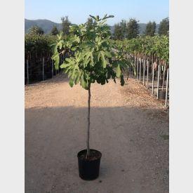 Vijg Ficus carica