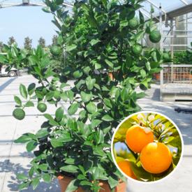 Gele Mandarijnenboom 12 liter 60-80