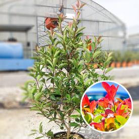 Glansmispel 'Photinia Serrulata' 10 liter 80-100