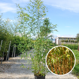 Gouden Bamboe 'phyllostachys Aurea' 10 liter 100-150