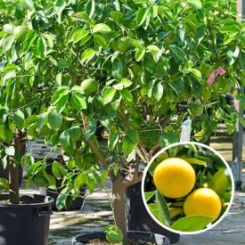 Grapefruitboom Paradisi (Pompelmo)