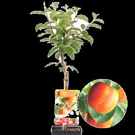 Santana appelboom patiofruit