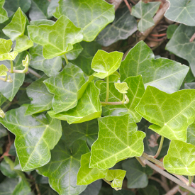 Hedera hibernica blad