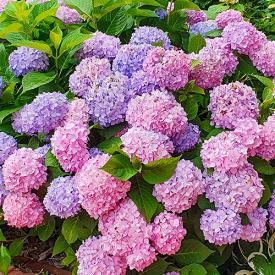 Hortensia Endless Summer The Original Blauw