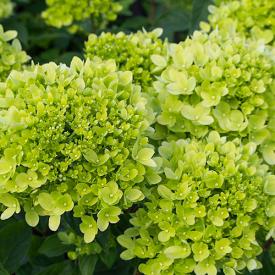 Hortensia Little Limelight bloem