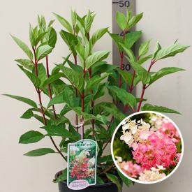 Hortensia Pinky Winky bloem