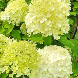 Hortensia Strong Annabelle bloem