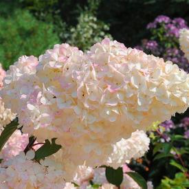 Hortensia Vanille Fraise bloem