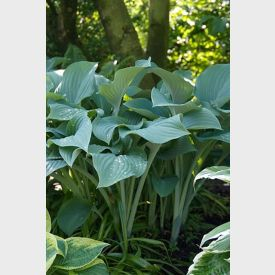 Hartlelie Hosta Krossa Regal