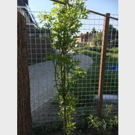 Quercus Green Pillar in tuin