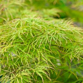 Acer palmatum Dissectum detail blad