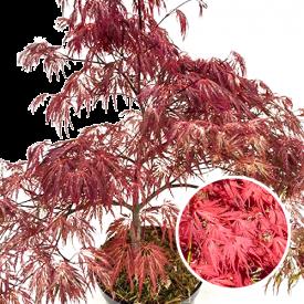 Kroon Acer palmatum Inaba-Shidare