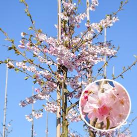 Prunus Accolade bloesem