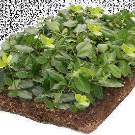 Euonymus plantenmatten