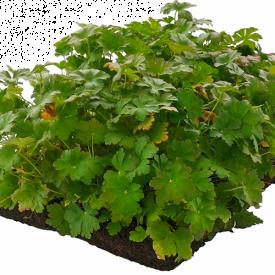 Geranium plantenmatten